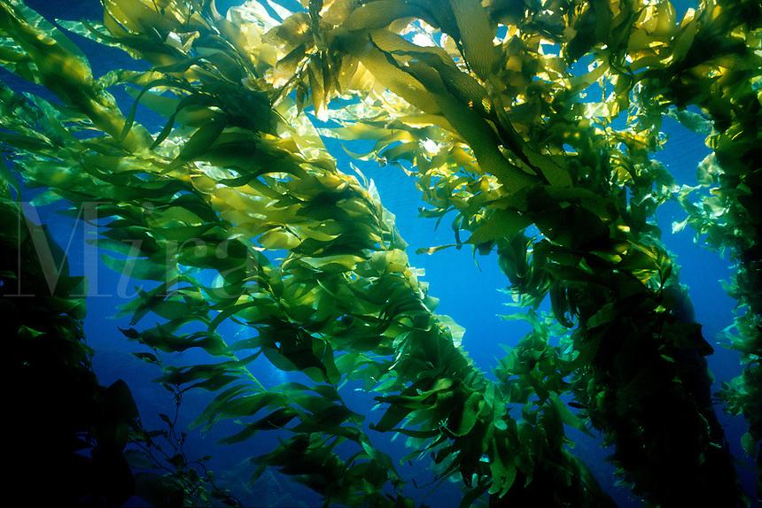 Giant kelp, Macrocystis pyrifera, canopy, California, Pacific Ocean