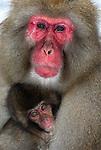 Japanese Macaque, Macaca, fuscata, dominant alfa male adult with young baby, Jigokudani National Park, Nagano, Honshu, Asia, primates, old world monkeys, snow, macaques, behavior, onsen, red face, cuddling, cuddles, nurture, loving.Japan....