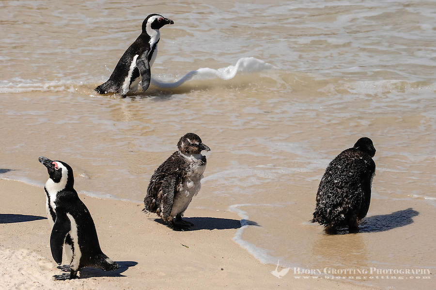 Boulders Beach near Cape Town in South Africa has a colony of African Penguins which settled there in 1982. A young chicken.