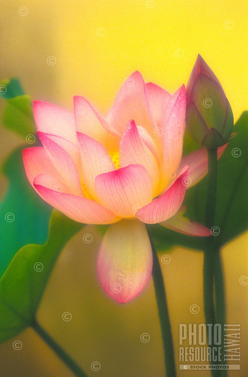 Lotus flower in bloom