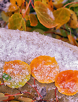 Snow and ice slivers on fall color Aspen leaves. Steens Mountain, Oregon.