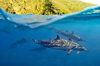 Spinner dolphins, Stenella longirostris, Kealakekua Bay, Captain Cook, Big Island, Hawaii, USA