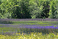 A meadow filled with camas (a type of lily), edged with mustard and reeds, along Reynold's Highway outside of Willits in Mendocino County in Northernn California.