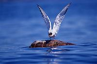 Caretta caretta, Loggerhead Turtle, Common Tern, Azores-Portugal