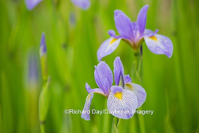 63899-05302 Blue Flag Iris (Iris versicolor) in wetland, Marion Co., IL