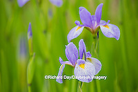 63899-05302 Blue Flag Iris (Iris versicolor) in wetland, Marion Co., IL