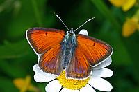 Lilagold-Feuerfalter, Lilagoldfeuerfalter, Lycaena hippothoe, purple-edged copper, Le Cuivré écarlate, le Argus satiné changeant, Bläulinge, Lycaenidae