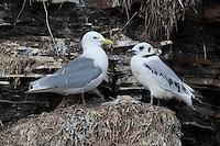 Dreizehenmöwe, mit Küken, Jungvogel auf ihrem Nest in der Steilwand, Felswand, Dreizehen-Möwe, Möwe, Dreizehenmöve, Rissa tridactyla, kittiwake, am Brutfelsen, Vogelfelsen, Vogelfels
