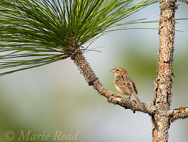 Bachman's Sparrow (Aimophila aestivalis), perched on pine branch, Three Lakes Wildlife Management Area, Florida, USA