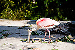 The Roseate spoonbill has a long, spatulate bill.
