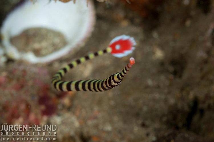 Ringed pipefish (Dunckerocampus dactyliophorus)