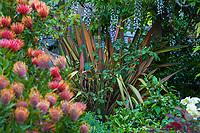 Phormium 'Maori Chief' in Diana Magor Garden with Wisteria on pergola and Leucospermum cordifolium 'Scarlet Ribbon'