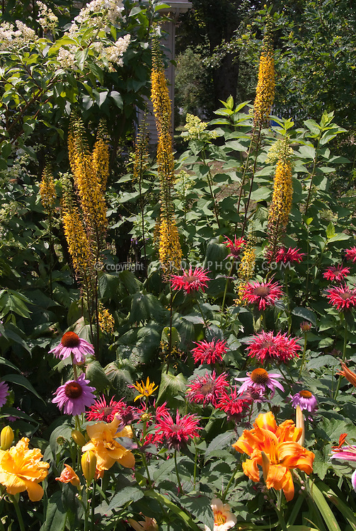 Ligularia, Echinacea, hemerocallis daylilies, Monarda, ? Heptacodium or Hydrangea shrub in summer perennial flower garden