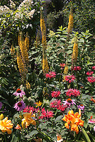 Ligularia, Echinacea, hemerocallis daylilies, Monarda, ? Heptacodium or Hydrangea shrub in summer perennial flower garden