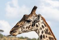 Masai Giraffe, Giraffa camelopardalis tippelskirchii, in Serengeti National Park, Tanzania
