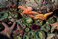 jz1571. tidepool marine life- Ochre Sea Stars (Pisaster ochraceus) and Green Sea Anemones (Anthopleura xanthogrammica). Oregon, USA, Pacific Ocean..Photo Copyright © Brandon Cole. All rights reserved worldwide.  www.brandoncole.com..This photo is NOT free. It is NOT in the public domain. This photo is a Copyrighted Work, registered with the US Copyright Office. .Rights to reproduction of photograph granted only upon payment in full of agreed upon licensing fee. Any use of this photo prior to such payment is an infringement of copyright and punishable by fines up to  $150,000 USD...Brandon Cole.MARINE PHOTOGRAPHY.http://www.brandoncole.com.email: brandoncole@msn.com.4917 N. Boeing Rd..Spokane Valley, WA  99206  USA.tel: 509-535-3489