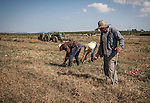 Columbian workers pick red onions, Ariany, Es Pla, Mallorca
