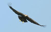 Eastern Imperial Eagle - Aqulla heliaca
