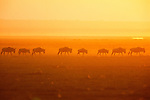 White-bearded Wildebeests at sunrise, Amboseli National Park, Kenya