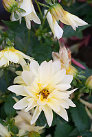 Dahlia Stargazer Mix, white cream