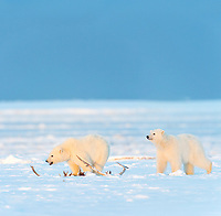 DIGITAL COMPOSITE: TWO IMAGES MERGED. Cubs and caribou antler, Barter, Island, Arctic National Wildlife Refuge, Alaska.