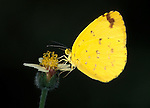 Catopsilia sp. Butterfly, yellow with brown spots, side view, West Africa