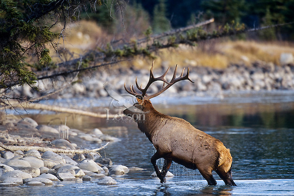 Rocky Mountain Elk Bull wading ashore after crossing river.  Canadian Rockies, fall.