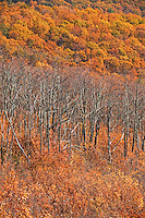 Dead trees in autumn color, Shenandoah National Park