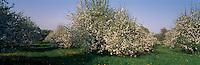 Apple blossoms at Hampton Falls, New Hampshire panorama, Photograph by Peter E, Randall