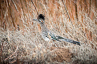 A greater roadrunner at Bosque del Apache National Wildlife Refuge in New Mexico.