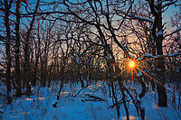 Sunset in bur oak forest<br />