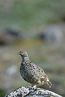 35-B06-PW-105    WHITE-TAILED PTARMIGAN (Lagopus leucurus), Rocky Mountain National Park, Colorado, USA.