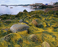 Hancock County, ME<br /> Knotted wrack and rockweed draped over exposed rocks at low tide, Stonington Harbor on Deer Island