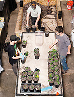 From left, Taylor Rigsby (cq), Brian McCormick (cq), and Dillon Hryze (cq), transplant marijuana plants at the Medicine Man grow house in Denver, Colorado, Tuesday, March 5, 2013. With Colorado's Amendment 64, the state has been working to decide how it will transition to legalized marijuana in the state...Photo by Matt Nager