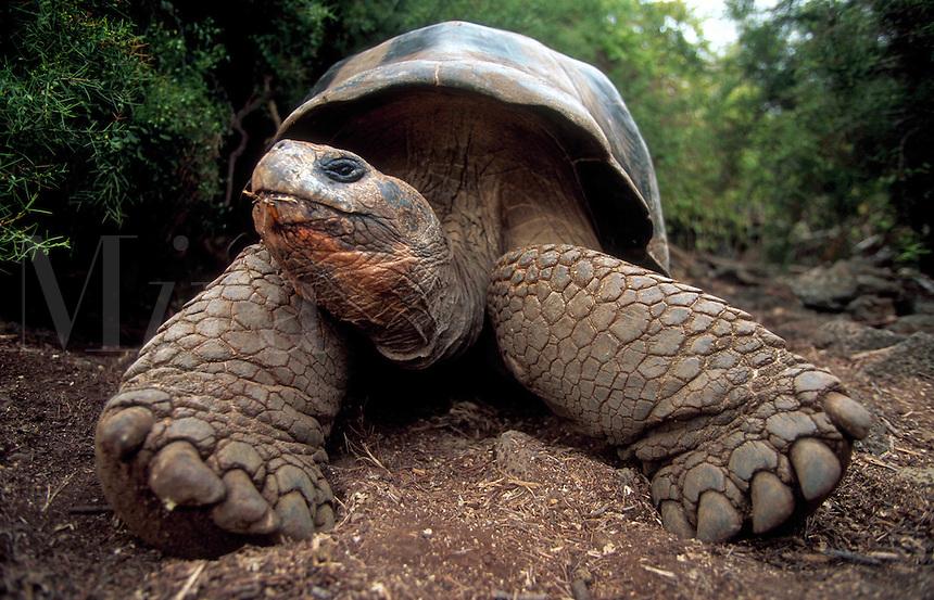Giant Tortoise, Darwin Research Center, Galapagos Island, Ecuador
