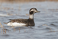 Long-tailed Duck - Clangula hyemalis - breeding female
