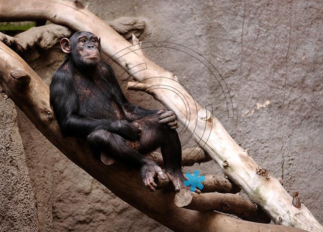 Pongoland Zoo Leipzig - MPI - im Bild: Schimpanse Alex lässt es sich gut gehen.  Foto: Norman Rembarz ..