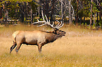 Bull Elk Bugling, Norris Junction, Yellowstone National Park, Wyoming