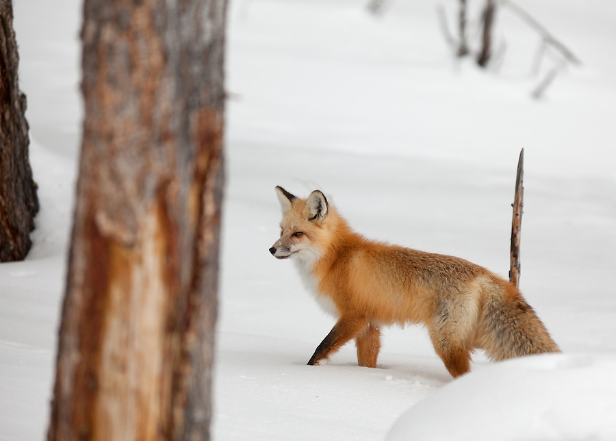 A single red fox searches for prey among the trees in the winter in Yellowstone National Park.