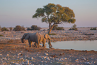 Elephants drinking from the waterhole at Okaukuejo in Etosha at Sunset
