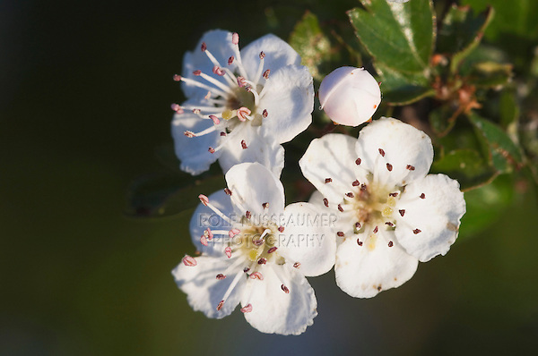 Common Hawthorn, Crataegus monogyna, blossom, National Park Lake Neusiedl, Burgenland, Austria, Europe
