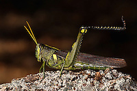 The distinguishing feature is a yellow midline stripe. This grasshopper has several color variations including greenish yellow to dark greenish brown.<br /> Because it can fly rapidly over great distances, it has earned the name bird grasshopper..