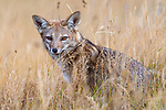 Chile, Patagonia, South American gray fox (Lycalopex griseus)