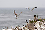 BROWN PELICANS, PELEGANUS OCCIDENTALIS, ON SEA ROCK