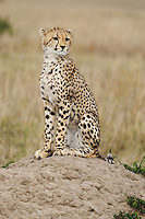 Cheetah (Acinonyx jubatus), adult sitting on hill, Masai Mara, Kenya, Africa