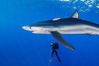 WQ1512-D. A Blue Shark (Prionace glauca) swims past a scuba diver. Hanging on weighted lines beneath the boat, divers are treated to close approaches by a curious 7 foot long blue shark attracted to the area by a small amount of bait. Seamounts off Pico and Faial Islands offer some of the best blue shark dives on the planet. Azores, Portugal, Atlantic Ocean.<br /> Photo Copyright © Brandon Cole. All rights reserved worldwide.  www.brandoncole.com