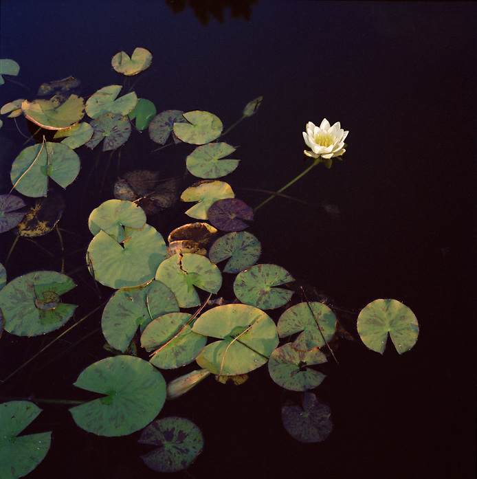Water Lily and lily pads, Veneto, Italy
