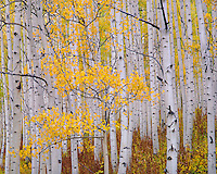 Gunnison National Forest, CO<br /> White trunks of aspen (Populus tremuloides) in fall color