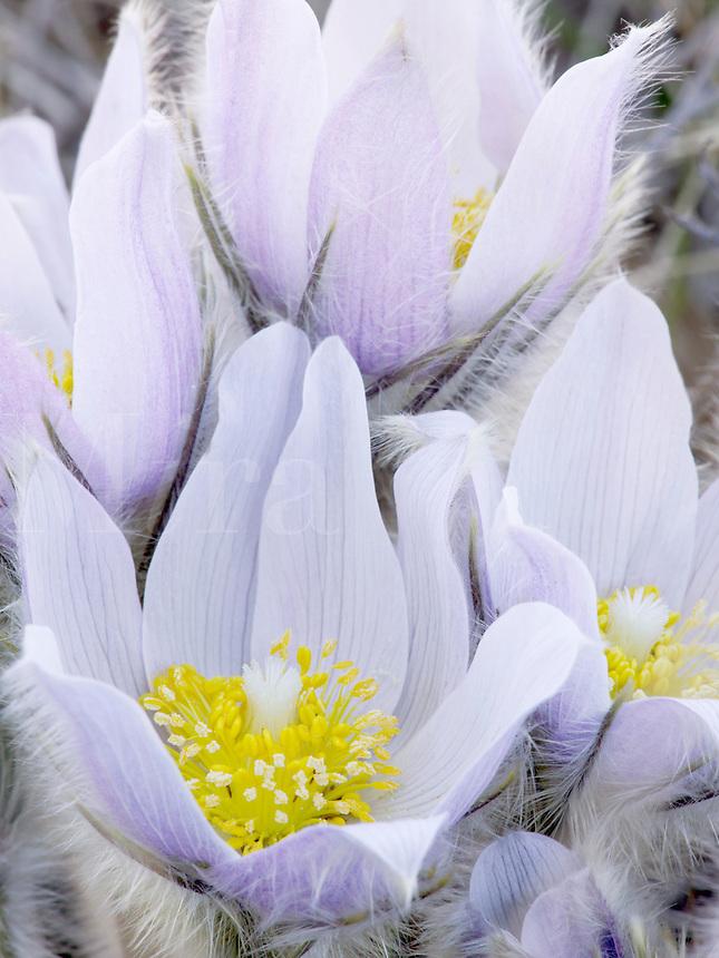 Pasque flower, Frenchmen's Bluff SNA, Minnesota