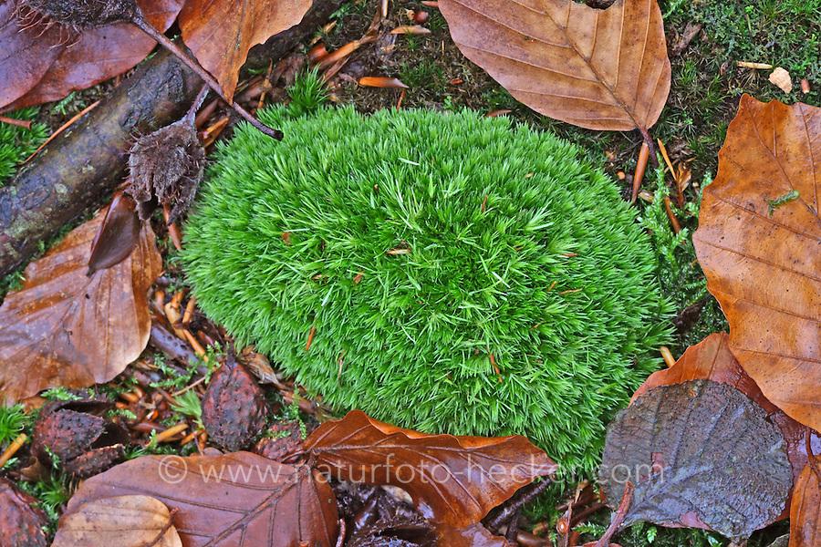 Gemeines Weißmoos, Echtes Weißmoos, Weissmoos, Ordenskissenmoos, Ordenskissen, Leucobryum glaucum, White cushion moss, Pincushion moss, Large white moss